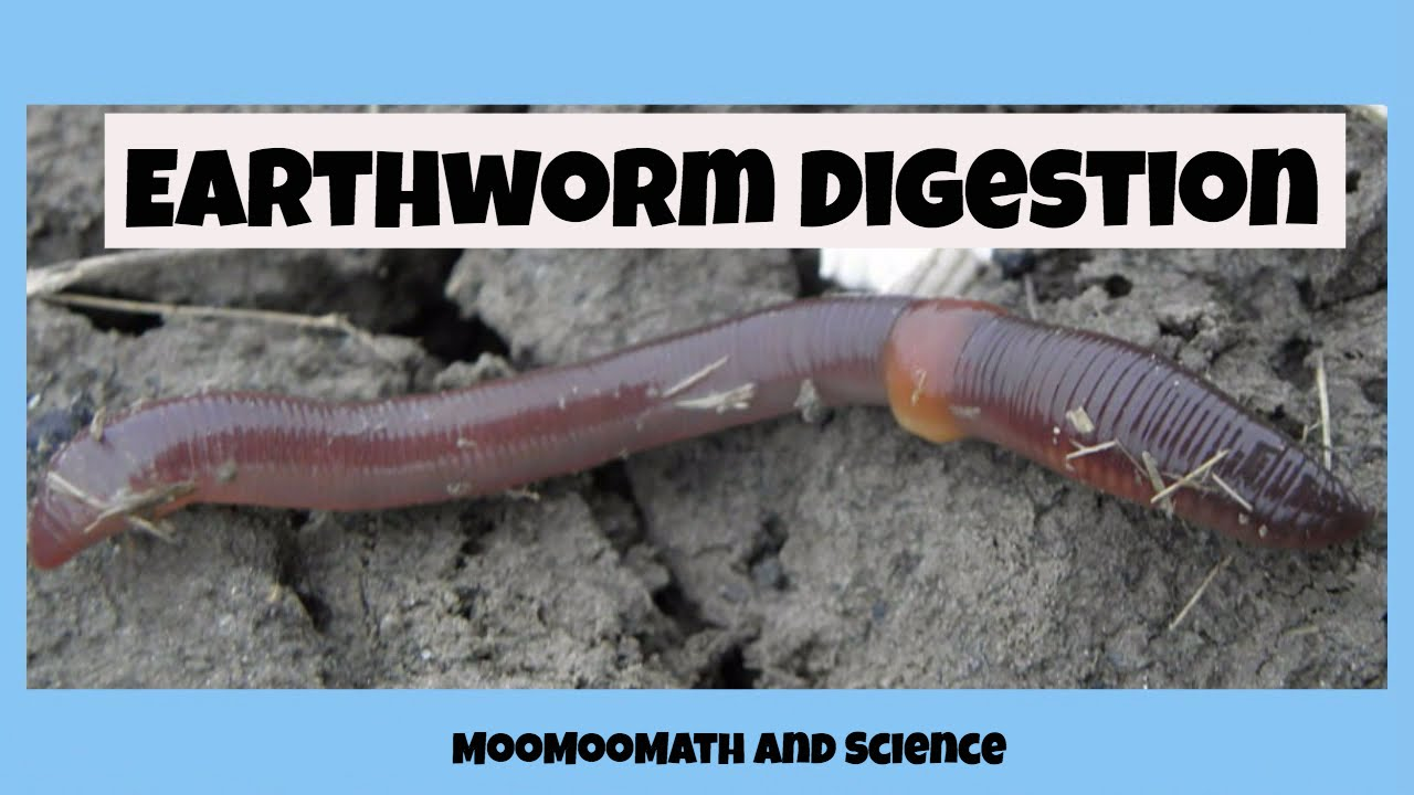 hight resolution of earthworm digestive system