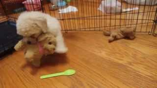 Charlie The Mini Poodle Vs Lulu The Pouncing Labradoodle Toy