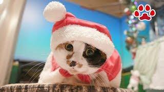 三毛猫のサンタクロース【瀬戸の三毛猫日記】Calico cat in a cute Santa CostumeCats room Miaou
