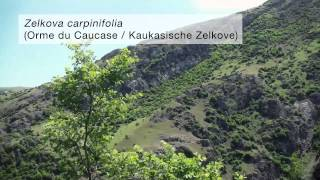 (French/German sub.) Relict trees of the Hyrcanian Forests in the Talysh Mountains of Azerbaijan