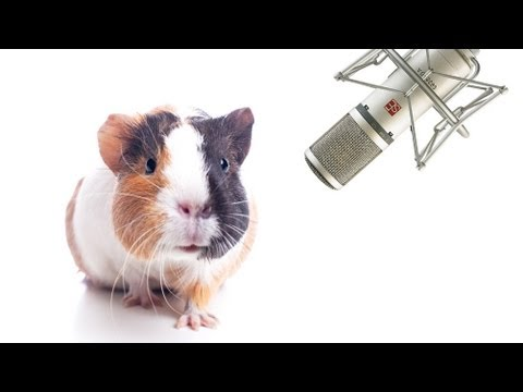 Pet Interviews - Guinea Pig (teaser)