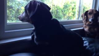 Angry Dachshund And Calm Dachshund Act As Guard Dogs