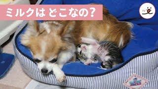 「ミルクはど〜こ〜?」お腹がすいた子猫ちゃん♡ 【 PECOTV 】