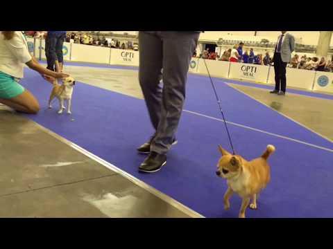 EDS 2017. Chihuahua s/c. Male - champion. Judge - HANS VAN DEN BERG