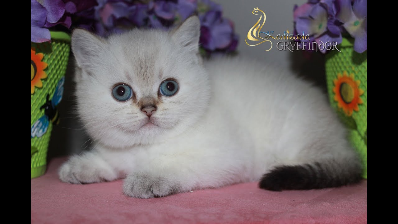 British Shorthair male kittens for sale