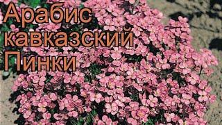 Арабис кавказский Пинки (arabis caucasica) ???? арабис Пинки обзор: как сажать рассада арабиса Пинки