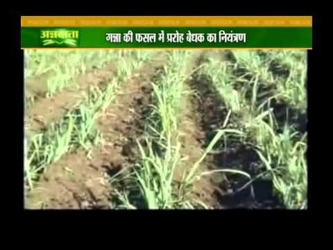 Know about banana and sugarcane plantation