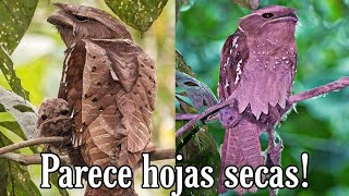Parece pájaro de madera o como si estuviera formado de hojas..😱 (Boca de Rana o Podargo Australiano)