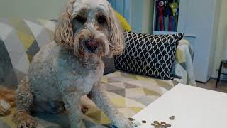Dog Training: Digby (Cockapoo)  Jump up, Play piano, Press button, Place item, Move with paw, etc.