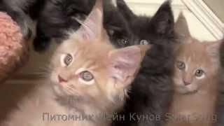 Котята Мейн Кун, 2 месяца. Питомник SolarSong