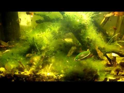 жук плавунец в аквариуме