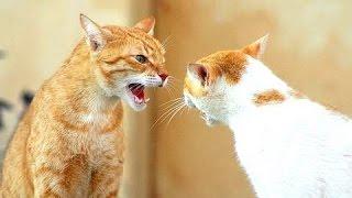 Смешные Кошки - Кошки 'разговаривают' друг с другом. Сборник.