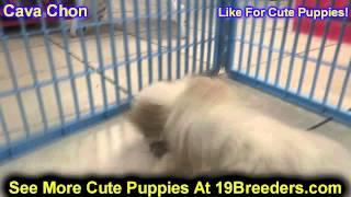 Cava Chon, Puppies, For, Sale, In, Clifton, New Jersey, Nj, Morris, Passaic, Camden, Union, Ocean, M