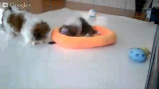 Teacup Shih-tzu Puppies Playtime At Star Yorkie Kennel