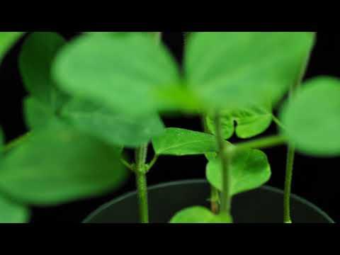 Dicamba (SOA 4) on non GMO soybeans close up 4x time