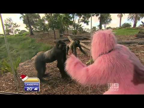 Stevie the pink gorilla
