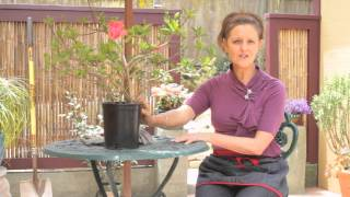 Hibiscus Plant Care : Beautiful Gardens & Plant Care