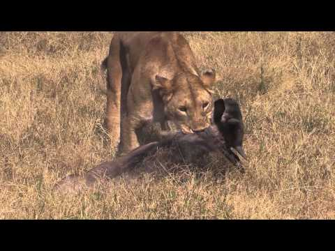 EPIC AFRICA: Lion Kill in Ngorongoro