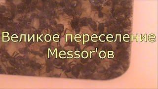 Великое переселение Messor'ов