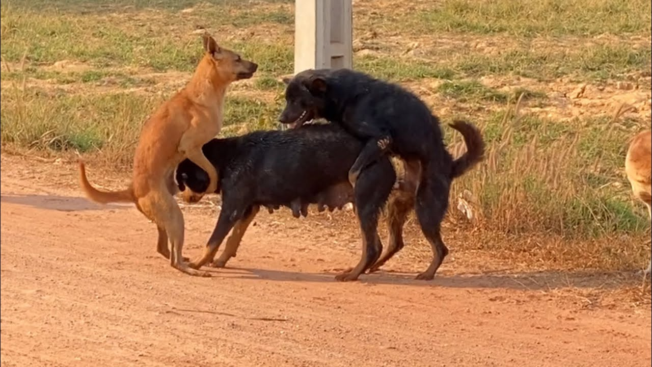 Awesome Sweet Rural Dogs In Village!! Labrador Dog Meeting Nearly my village in Evening
