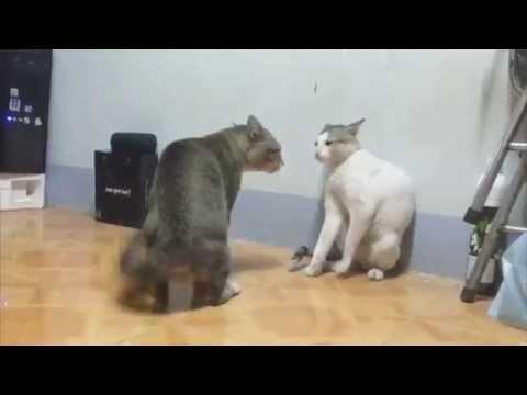 Gatos lutando  ao som de boa noite pra quem é de boa noite