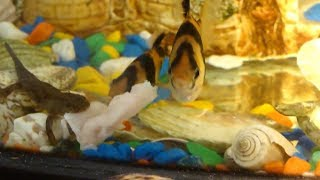 Совместимость аквариумных рыбок: тритоны,  барбусы. кормление мясом.
