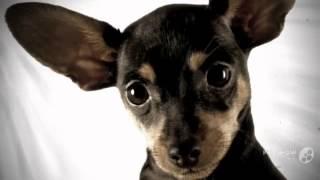 Той-терьер порода собак