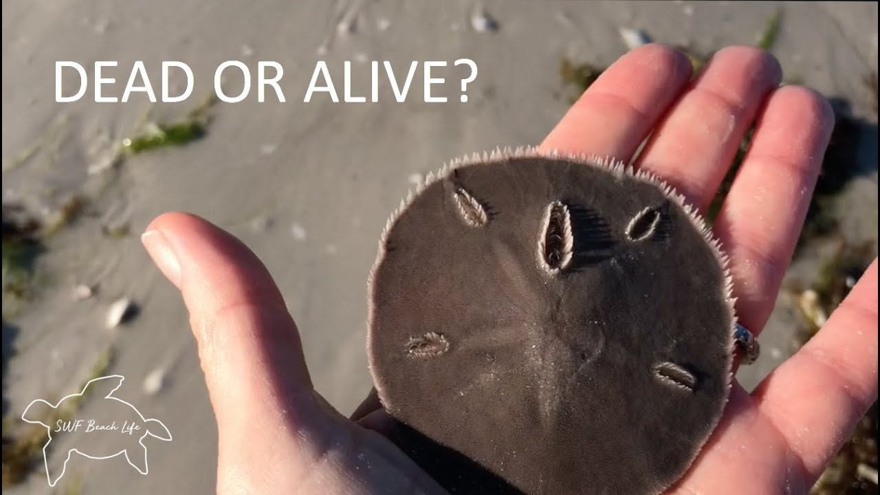 Are Sand Dollars Alive Learn To Tell The Difference And Other Interesting Facts About Sand Dollars Youtube