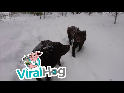 Are These Dogs Frozen? || ViralHog