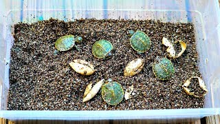MY TURTLE EGGS HATCHED!!