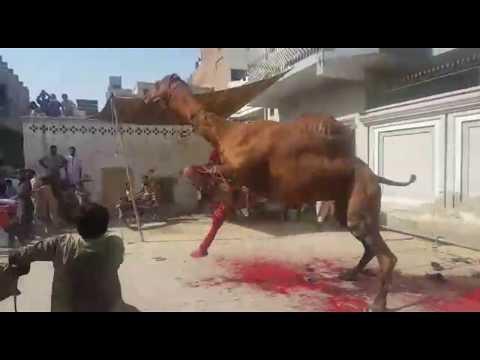 Dangerous camel slaughter & qurbani thumbnail