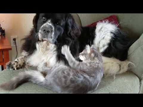 Gentle Giant Dog And Annoying Kitten