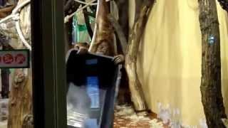Sumatran Orangutan acrobatic kid at Budapest Zoo