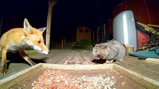 Fox and cat Standoff.