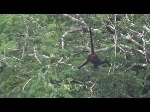 Singe Araignée - Geoffroy's spider monkey - Tikal, Guatemala