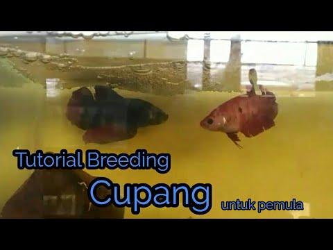 Tutorial Budidaya Ikan Cupang untuk Pemula