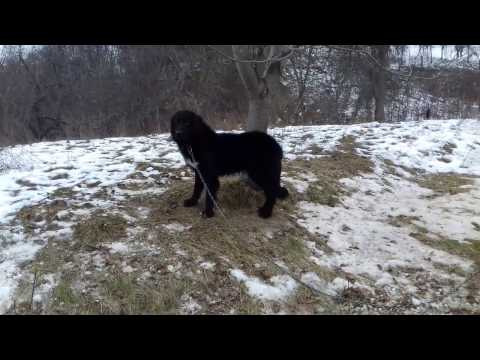 Huge Romanian sheepdog of breed Corb - video 2016