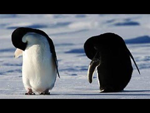 Imágenes adorables de pingüinos en la Antártida|CCTV Español