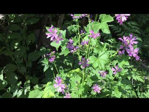 Le piante panacea: la malva