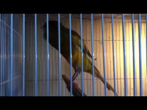 Oscar my yorkshire canary singing