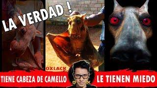 DICEN QUE TIENE CABEZA DE CAMELLO LA VERDAD @OxlackCastro
