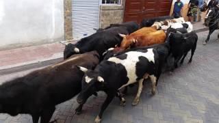 Gambar cover Arriada del ganado bravo de Cuturibí en Pujilí, 09 Octubre 2016