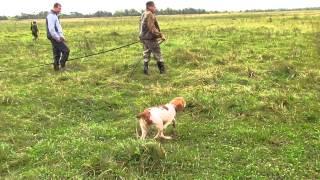 Бретонский эпаньоль - первая натаска щенка по птице