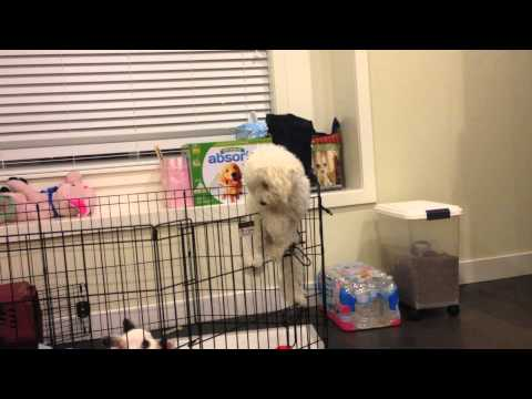 Pekoe the Poodle: Escapes Exercise Pen