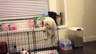 Pekoe The Poodle: Escapes Exercise Pen