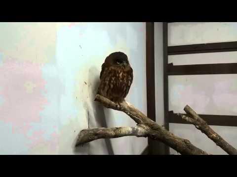 Boobook Owl Ninox novaeseelandiae ニュージーランドアオバズク