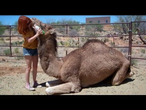 How to Cuddle With a Camel