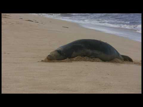 Hawaii 4: Monk Turtle & Seal (Cat Stevens, Taj Mahal)