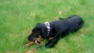 Cheddar Gustav My Cute Rottweiler/ Boxer Mix! Part 1