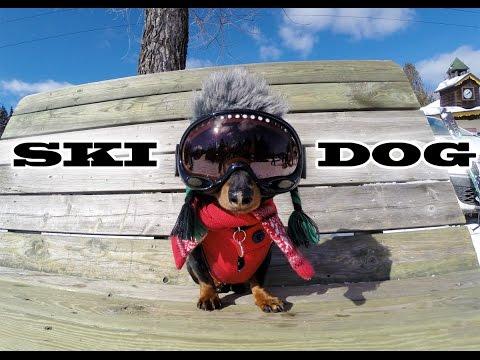 'SKI DOG' - Crusoe the Wiener Dog Loves Skiing